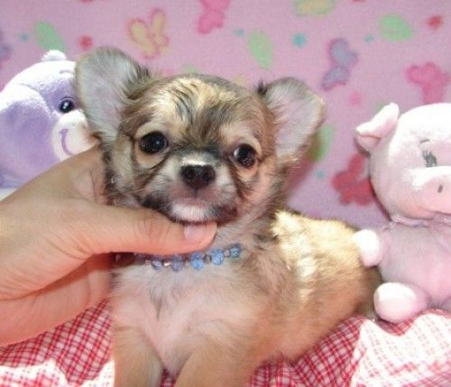 Tiny Teacup Baby Chihuahua Puppies For Sale Chihuahua Puppies