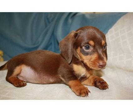 Mini Dachshund Puppy Price Tbd Baby Dachshund Daschund Puppies