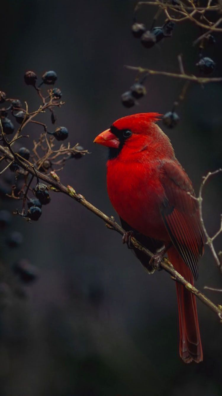 Red Cardinal Bird Wallpaper Phone Cardinal Birds Bird Wallpaper Birds