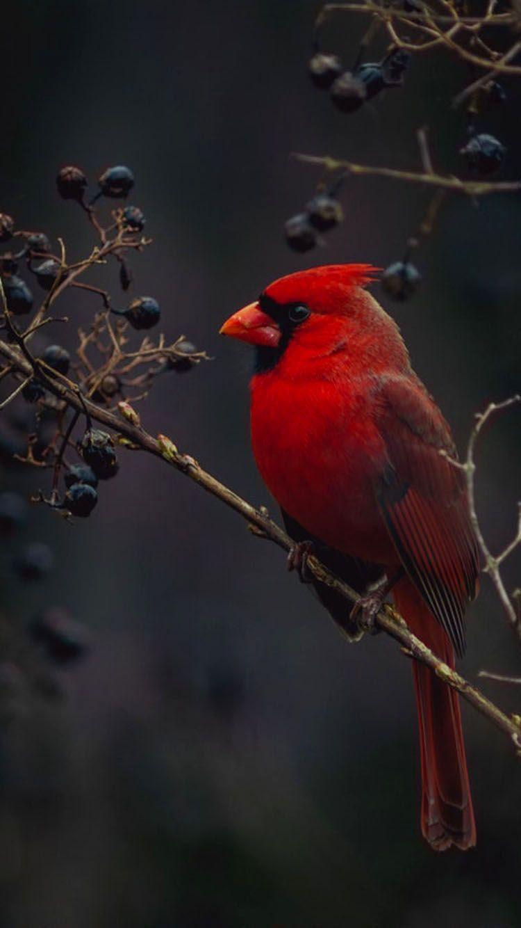 Red Cardinal Bird Wallpaper Phone Cardinal Birds Bird Wallpaper