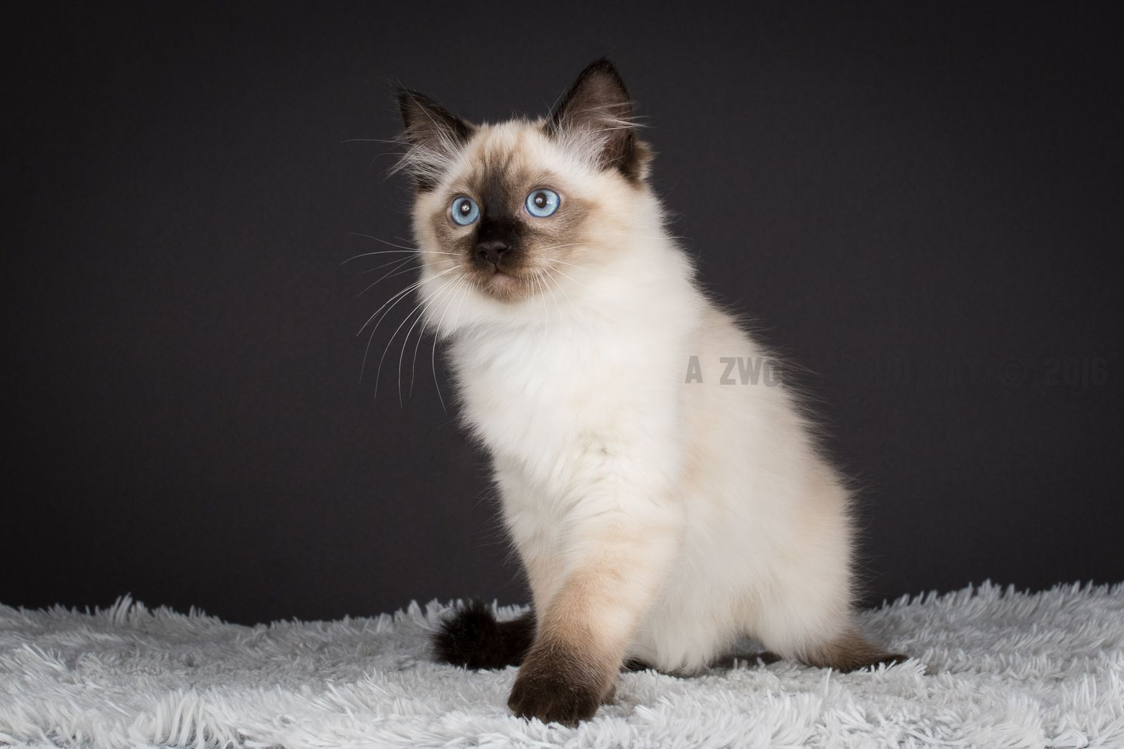 2016 Fred A Zwollywood Cat 12 Weeks Old Ragdoll Kitten Seal Colourpoint From The Flintstones Litter