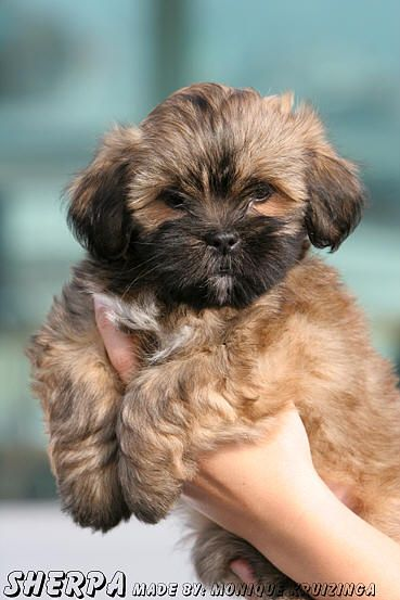 Lhasa Apso Lhasa Apso Lhasa Apso Puppies Cute Cats Dogs