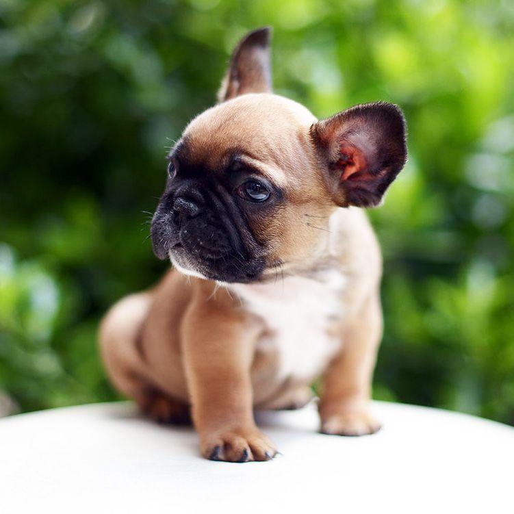 French Bulldog Playful And Smart French Bulldog Puppies