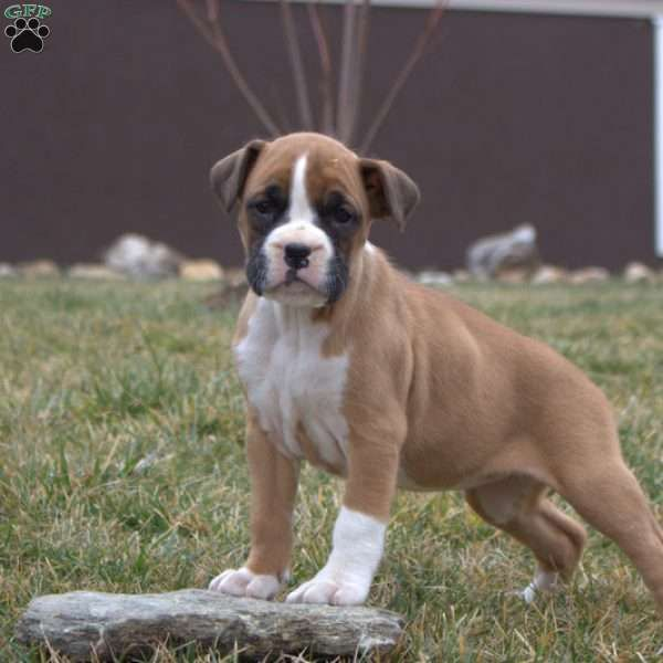 Remmy Boxer Puppy For Sale in Pennsylvania in 2020