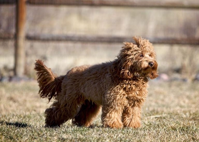 What Is An Australian Labradoodle With Images Australian Labradoodle Australian Labradoodle Puppies Labradoodle Puppies For Sale