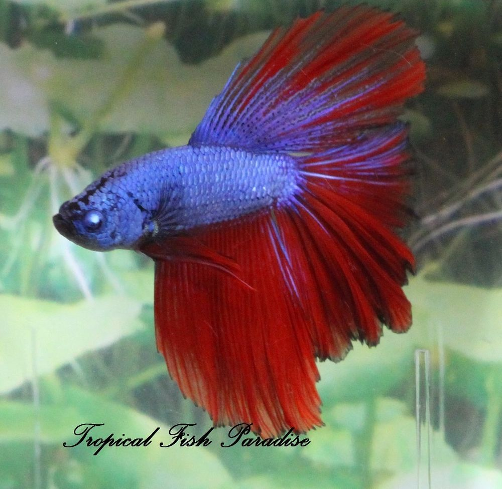 Very Nice Blue Fire Dragon Halfmoon HM Imported Male Betta Fish ...