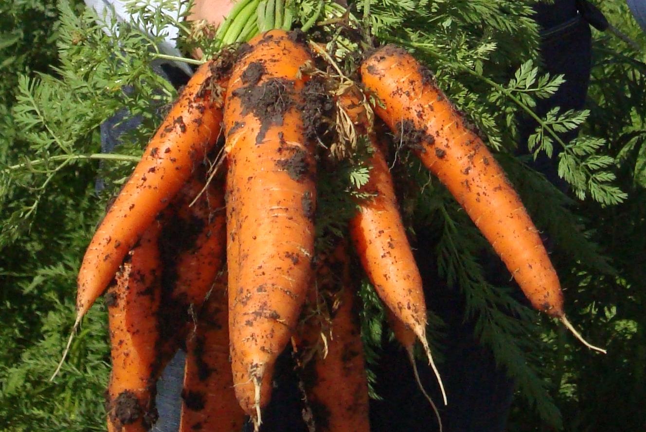 carotte venant d'etre récoltées encore avec la terre