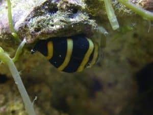 Bumble Bee Snail Bumble Bee Snail Bumble