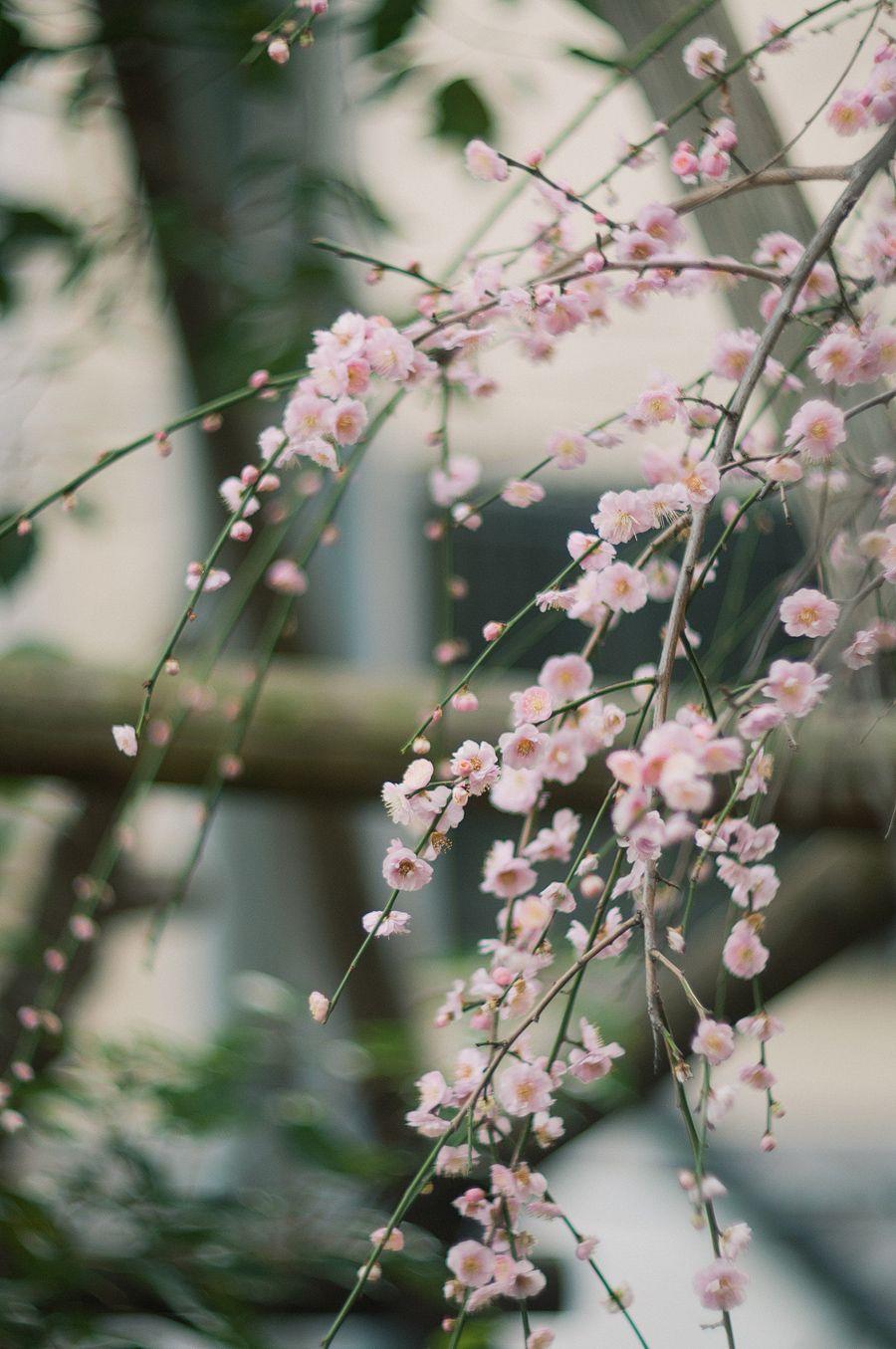 Ume Blossoms in Taura Kanagawa Japanese cherry blossom