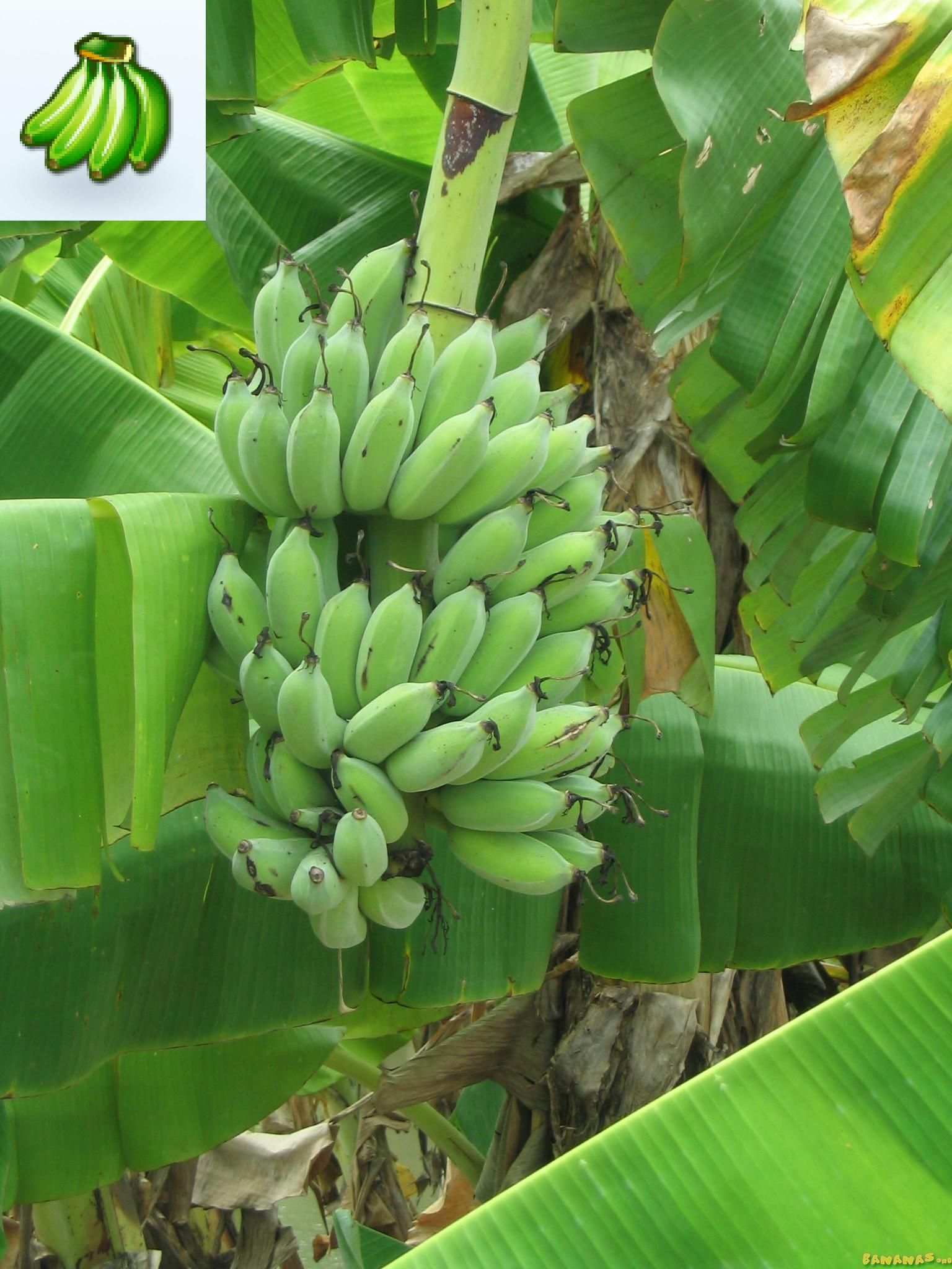 musa dwarf namwa banana tree height 6 39 9 39