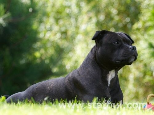 Staffordshire Bull Terrier Weight Female 22353 Lbs 1016 Kg