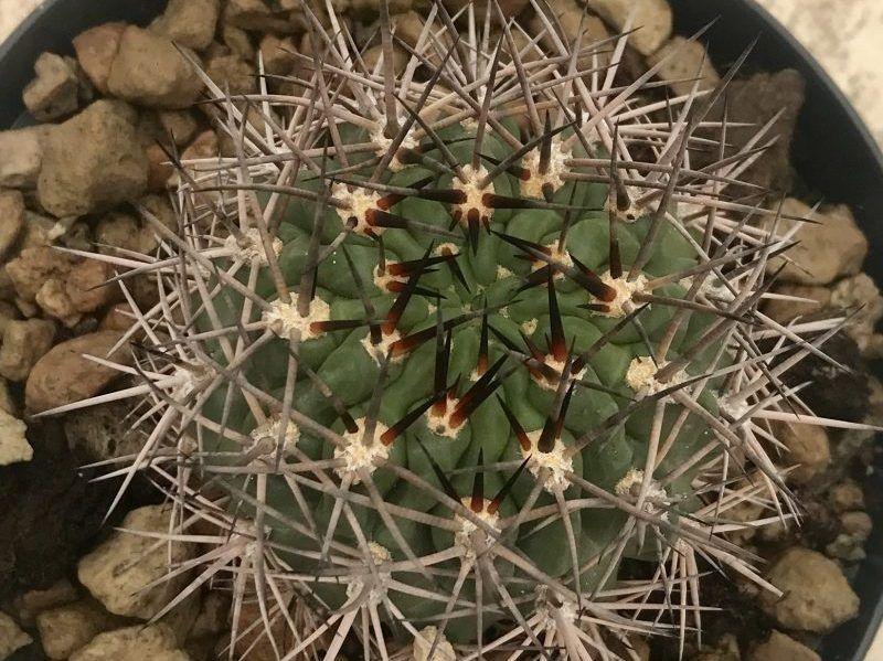 Acanthocalycium Thionanthum Giromagi Cactus And Succulents You Can
