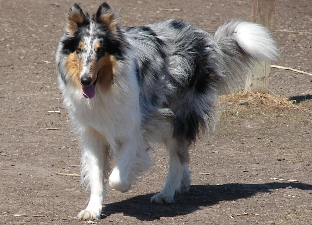 Blue Merle Rough Collie Blue Merle Rough Coat Collie By
