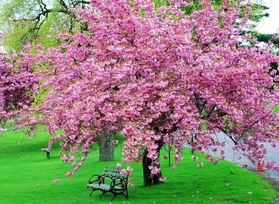 Cherry Blossom Trees Would Look Beautiful In A Garden Description From Pinterest Com I Searched For This On Bing Co Blossom Trees Pink Trees Backyard Getaway