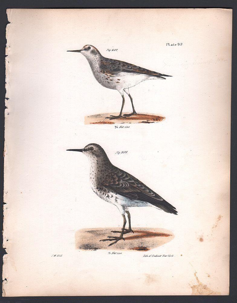 Wilsons Sandpiper Original 1845 DeKay H/C Marsh Bird Print