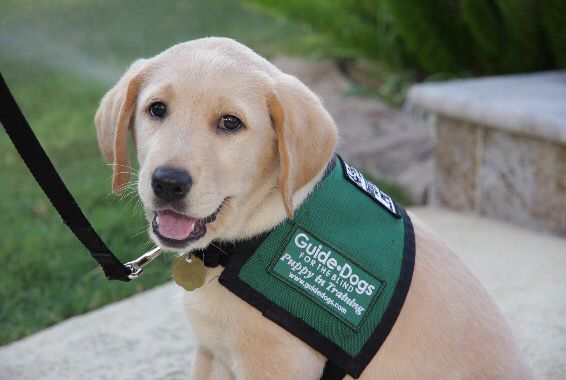 You Can Raise A Puppy For Guide Dogs For The Blind The Experience