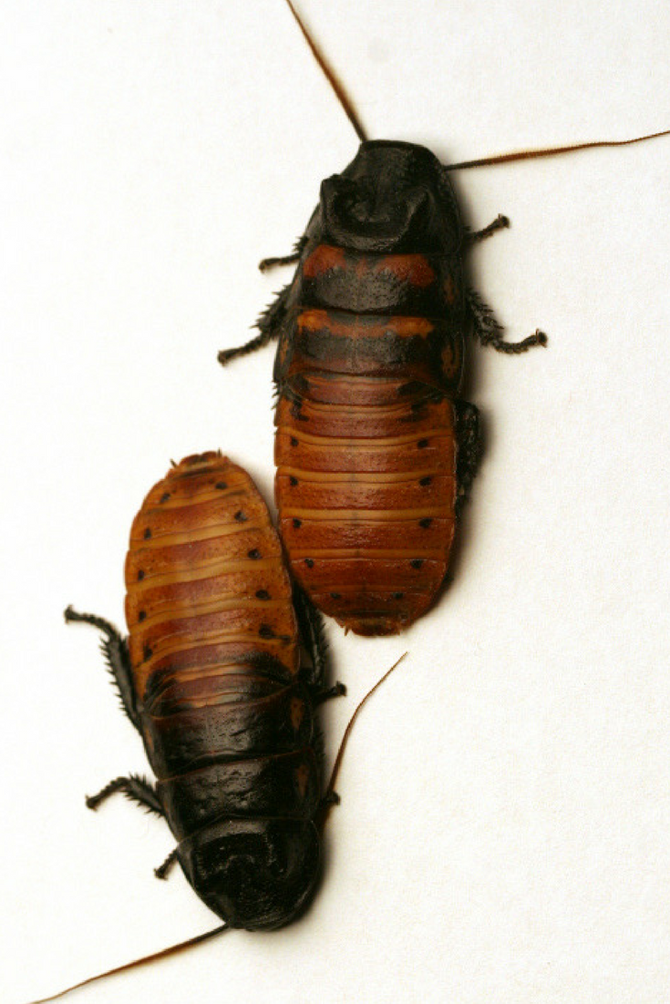 Cockroaches 101 A Guide To Identifying Common Types Of Cockroach Species Cockroaches Madagascar Hissing Cockroach Insect Species