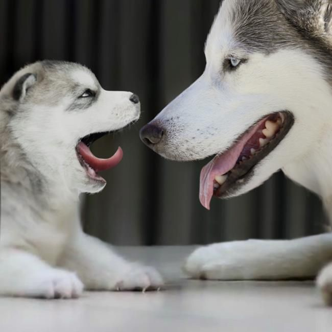 Wimp Com Husky Dog Mom And Baby Playing This Is So Cute