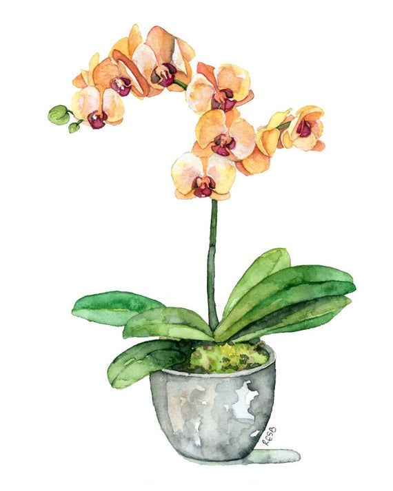 Potted Orchid Painting  Print titled,  Orange Orchid ,Orchid Painting, Orchid Print, Botanical, Potted Plant, Orchid Plant, Flower Painting is part of Orchids painting, Flower painting, Watercolor flowers, Orchid drawing, Orange orchid, Fine art giclee prints -  SHIPPING  I ship prints flat, carefully packaged in a plastic sleeve and rigid mailer, with cardboard added for support   For info on shipping, use the  Shipping & Policies  tab above  PLEASE NOTE  Prints are designed to fit into standard sized frames  Frames are not included   Depending on your monitor settings colors may appear slightly different on screen than on the actual print  ©2015 Rachel E  S  Byler All art is the property of artist Rachel Byler and may not be reproduced, resold, or used in any form