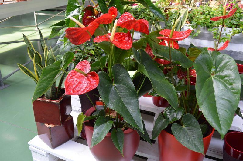 Anthurium http://lessolaes.es/tienda/plantas-interior-flor/anthurium ...