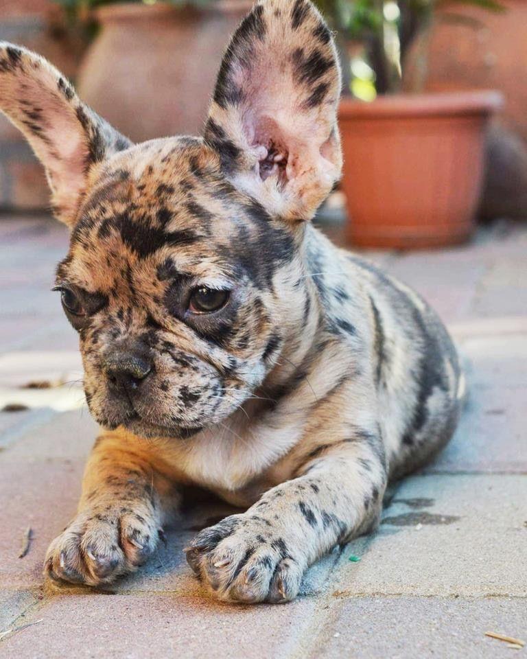 Cutie Pie Puppies French Bulldog Puppies Cute Animals