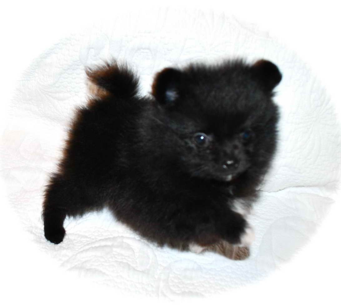 Black Pomeranian Puppies For Sale Near Me Pomeranian