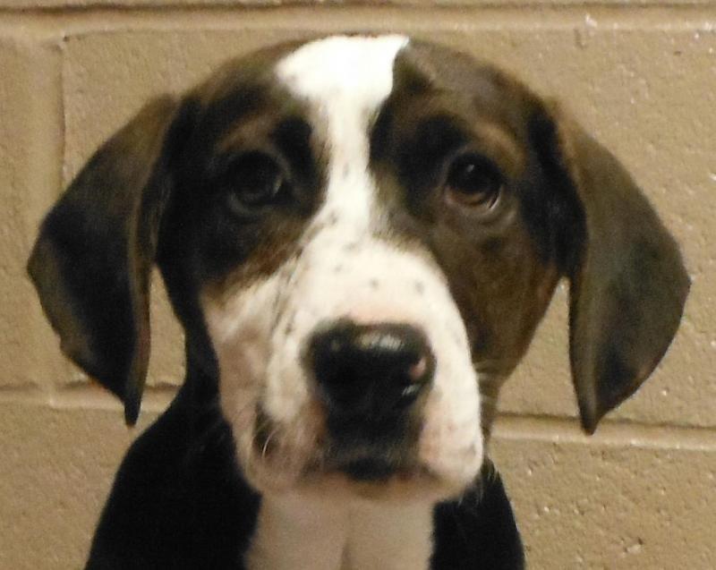 Adopt 25164287 On Petfinder Basset Hound Dog Bulldog Dog Cute Dogs