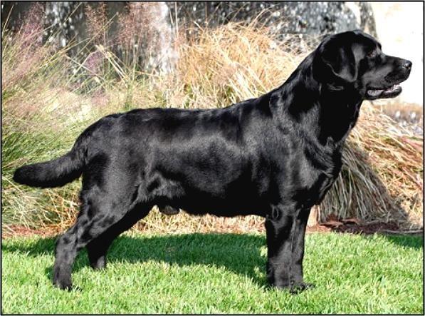 Black Labrador Retriever Puppies For Sale Ny Black Labrador Retriever Labrador Retriever Labrador Retriever Puppies