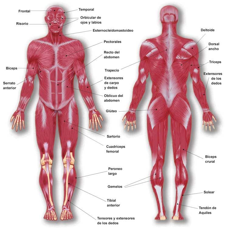 Anatomia de l\'aparell locomotor | Fitness and nutrition | Pinterest ...