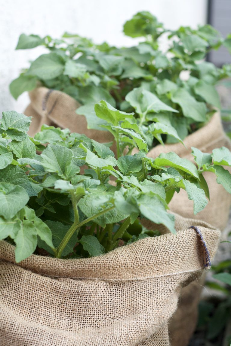 Growing Potatoes In A Jute Sack Is Also Very Easy In A Small Space