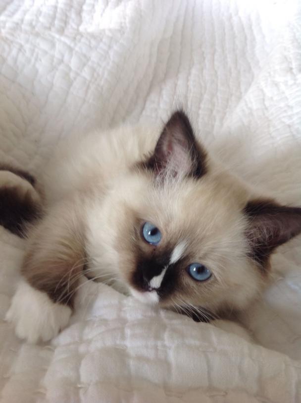 9 Week Old Mitted Seal Ragdoll Cat Cat Ragdoll Cat In 2020 Cute Cats Pretty Cats Kittens Cutest
