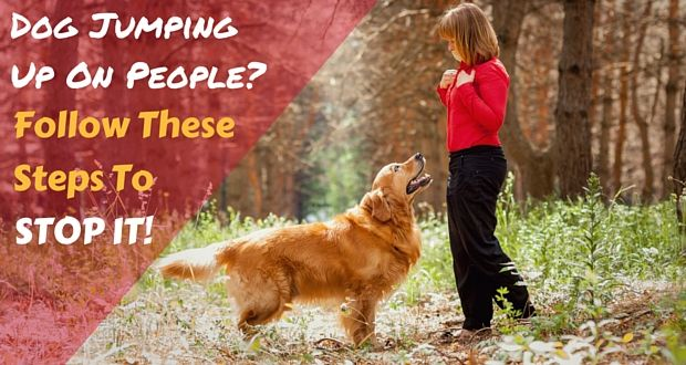 Train Your Golden Retriever To Stop Jumping Up On People Puppies