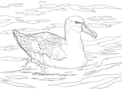 Shy Albatross Or Shy Mollymawk Coloring Page Supercoloring Com Coloring Pages Animal Coloring Pages Free Printable Coloring Pages