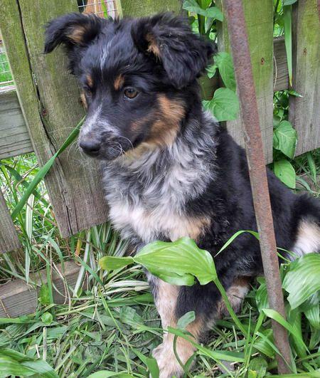 Dusty The Australian Shepherd Mix Australian Shepherd Puppies And Kitties Puppies