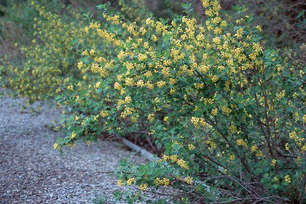 Ribes odoratum bek sarekcompact golden currant this deciduous ribes odoratum bek sarekcompact golden currant this deciduous shrub has yellow flowers in early spring followed by edible fruit in the springsummer mightylinksfo