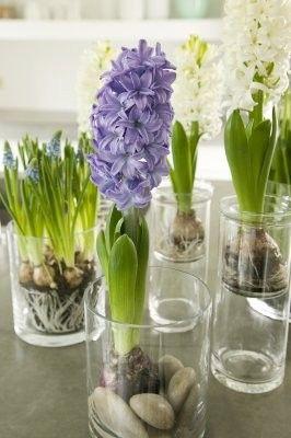 Pomysl Na Kwiaty W Domu Garden Bulbs Indoor Water Garden Spring Bulbs