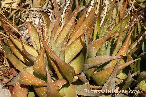 Scientific Name Aloe Vera L Burm Synonym Name Aloe Vulgaris Aloe Barbadensis Common Name Aloe Vera Medicinal Aloe Bitter Aloe Vera Aloe Plants