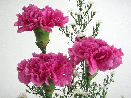 How To Take Care Of Carnations Growing Carnations Rose Plant Care Pink Carnations