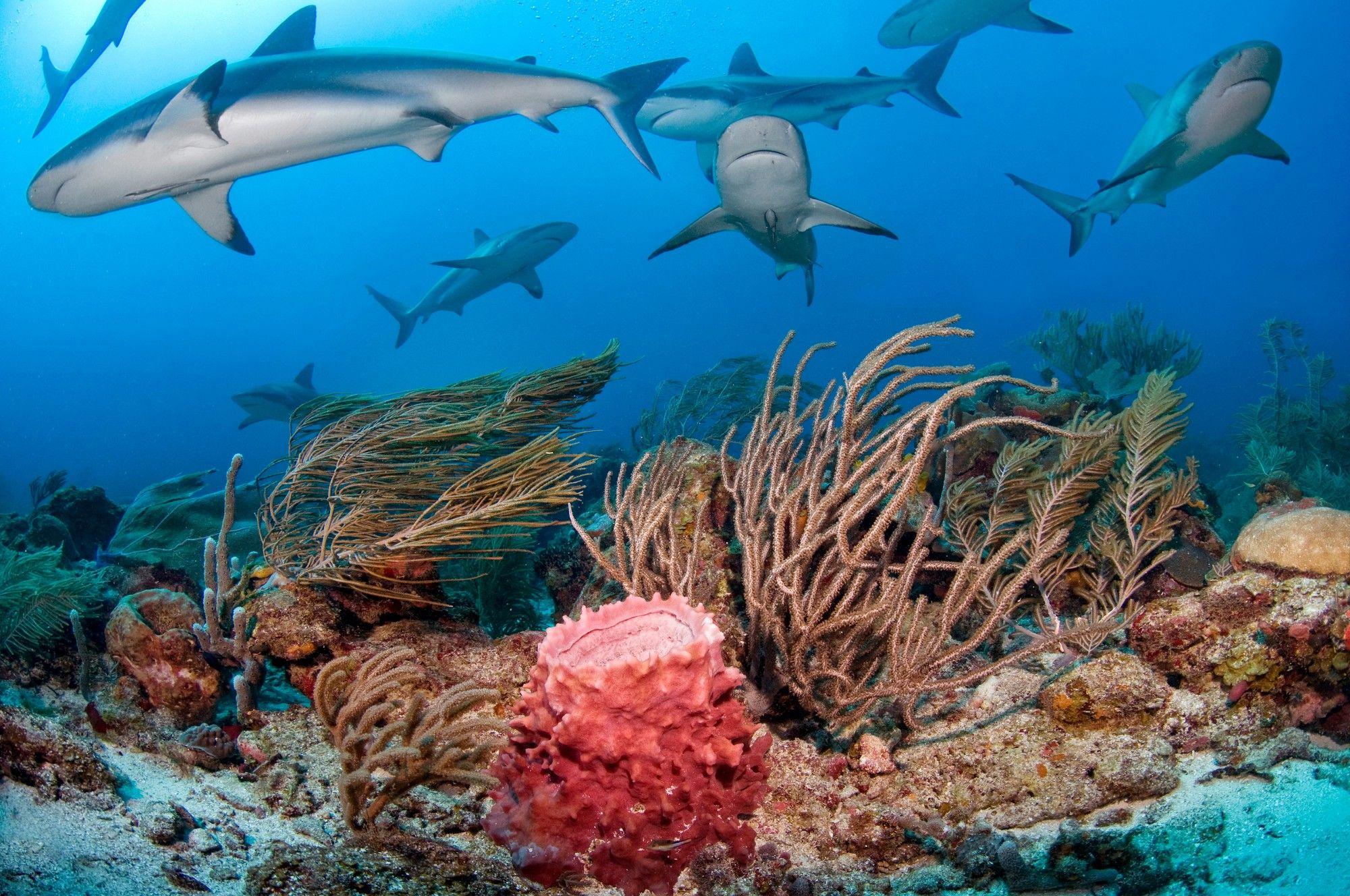 Caribbean Reef Sharks surrounding the coral reef Φοίνικες, Καραϊβική, Ζώα, Ζωή, Καρχαρίες, Φύση, Εικόνες