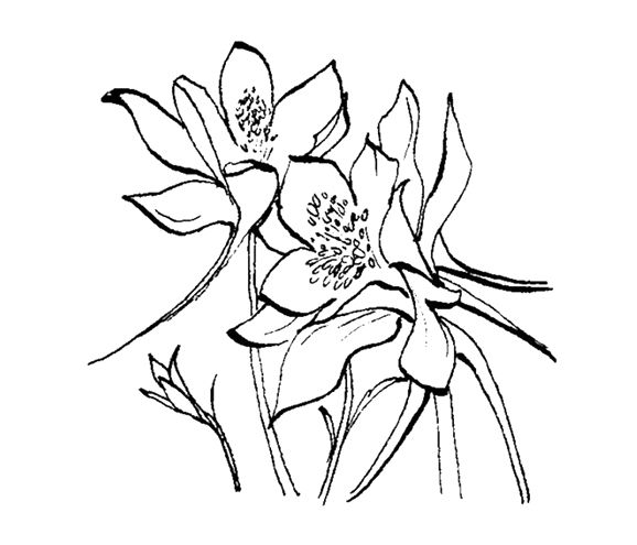 Columbine Flower Line Drawing : Gallery for gt columbine flower line drawing amaryllis