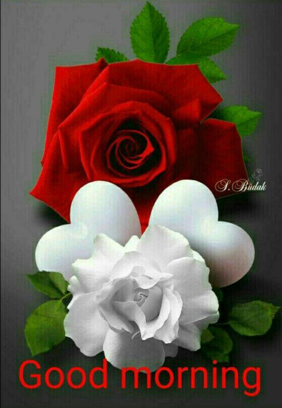 Good Morning Greetings Beautiful Rose Flowers Beautiful Roses Rare Flowers