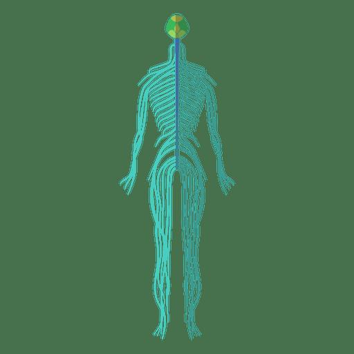 Nervous System Brain Nerves Human Body Ad Sponsored Affiliate Brain Body Human System Brain Nerves Nervous System Nerve