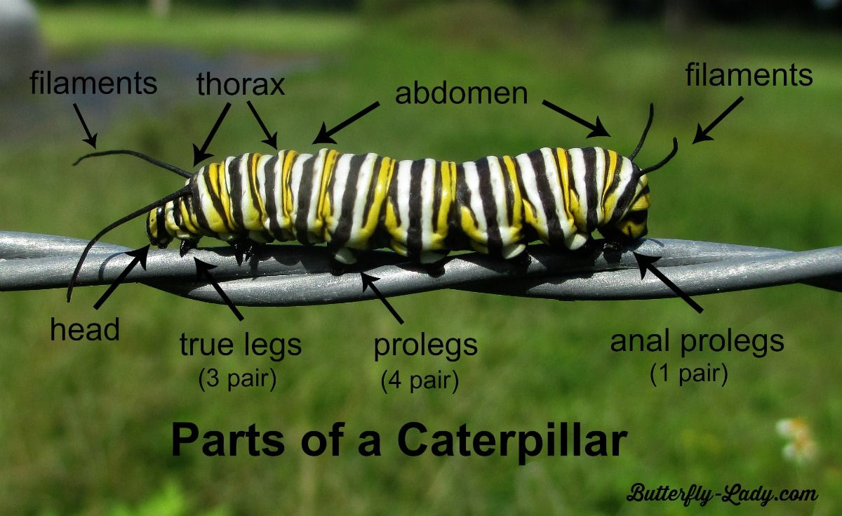 Parts of a Monarch caterpillar. Feel free to copy and use