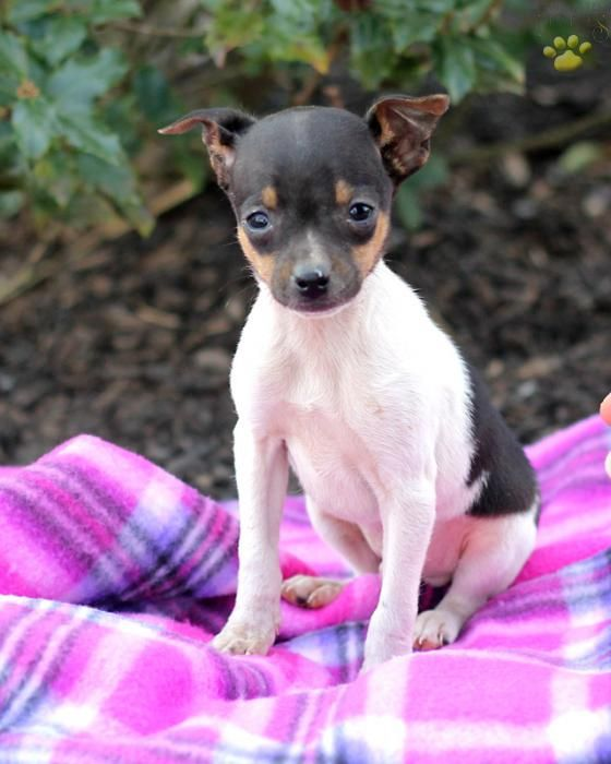 Toy Fox Terrier Drew Was This Little So Cute