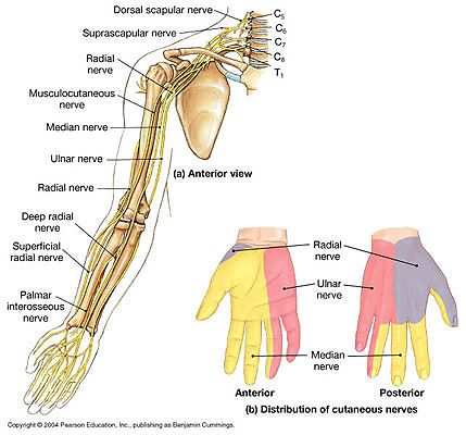 nerves in neck and shoulder diagram cav injector pump arm structures anatomy arms pain nerve