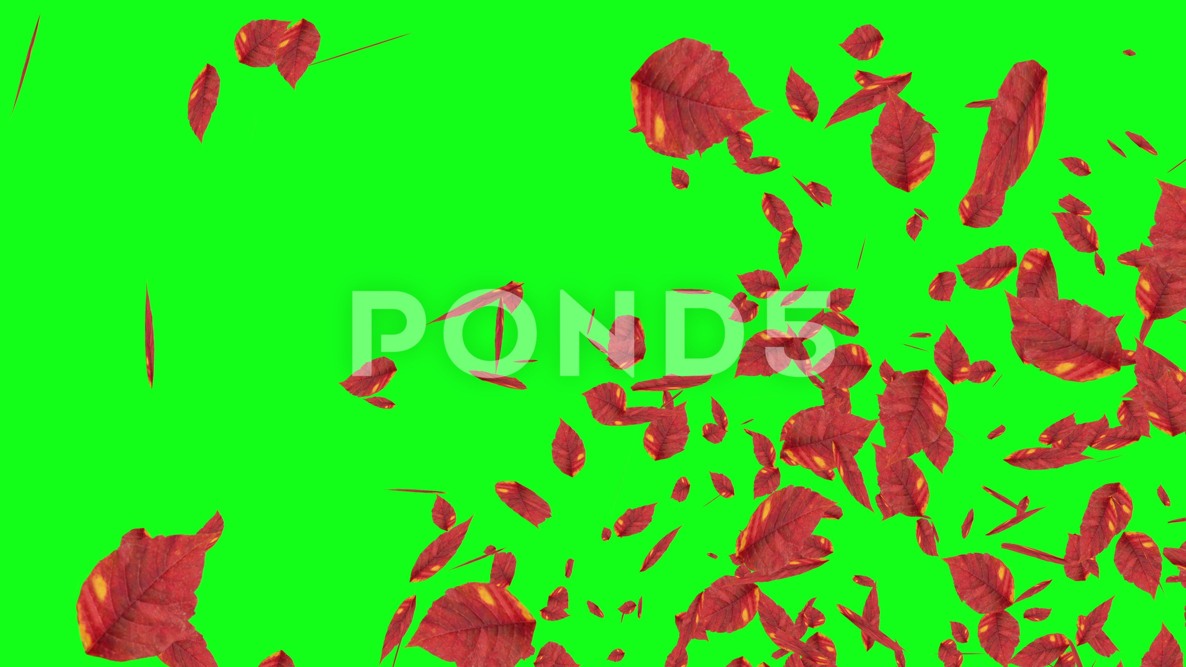 Explosive Autumn Falling Leaves Green Screen Chroma Key Editable Background Stock Footage Ad Leaves Green Screen Expl Chroma Key Greenscreen Autumn Leaves