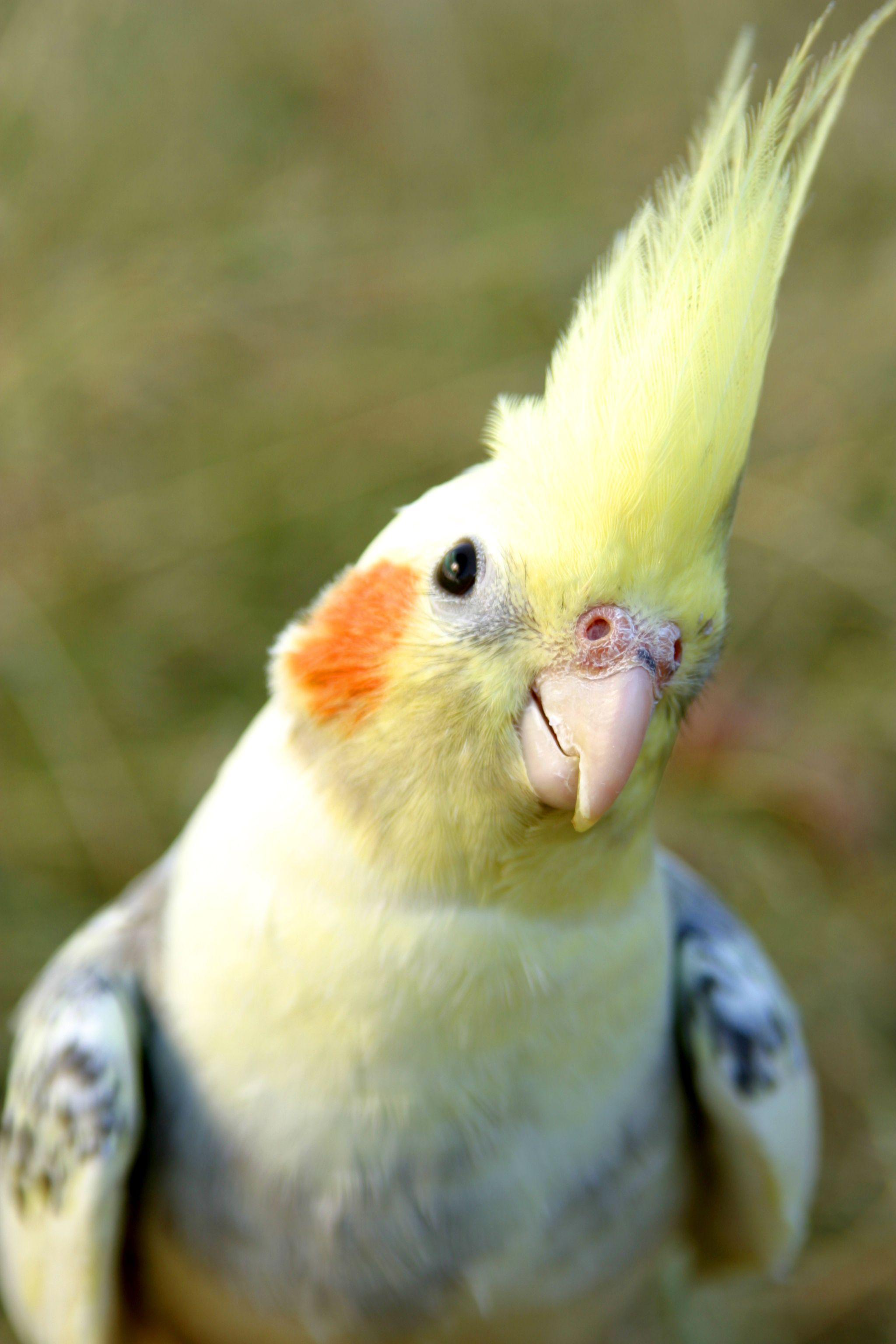 One Of My Favorite Cockatiel Pictures Best Pet Birds Birds