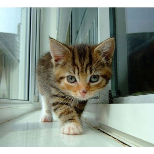 Cute Kittens (100 pics) ❤ liked on Polyvore featuring animals, cats, pictures, pets and backgrounds