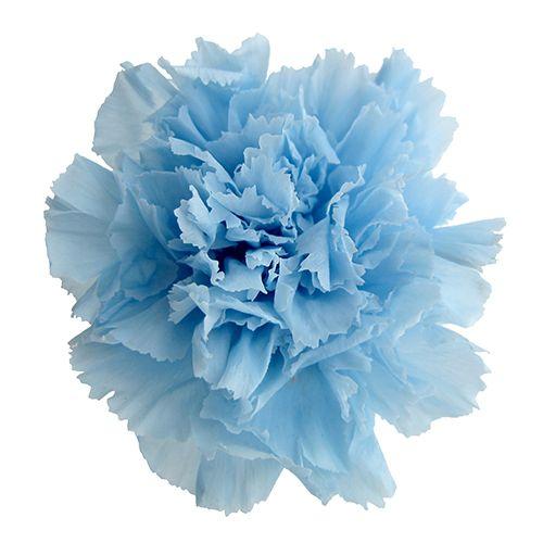 роскошный синие гвоздики картинки тип