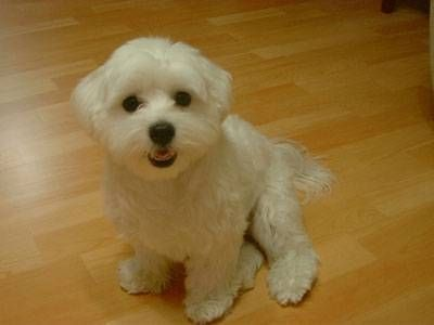 About The Maltese Dog Thumbnail Dog Breeds That Dont Shed